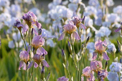 doddington_hall_irises